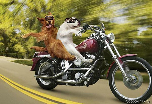 Собаки на мотоцикле