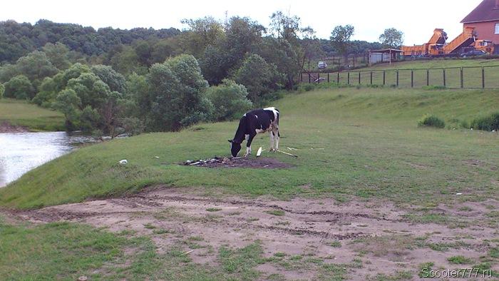 Смелая корова
