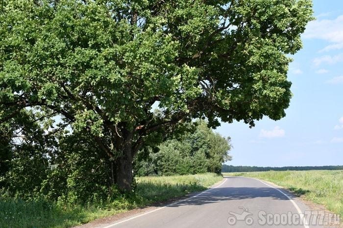 Раскидистый дуб
